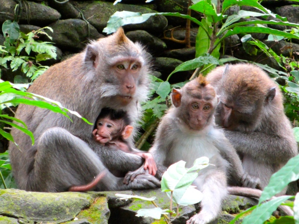 "A family of macaques from our visit to the Monkey Forest in Ubud, Bali, Nov. 2012.  ""Hey, is that a sandwich?"""